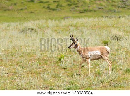 North American Pronghorn Antelope (antilocapra americana) in Yellowstone National Park