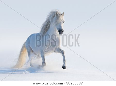 Galloping white Welsh pony on snow field