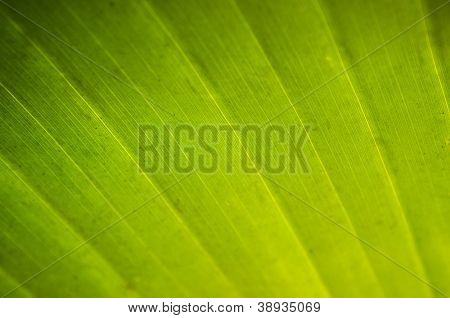 Close-up texture of palm leaf