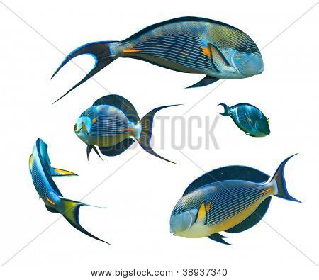 Tropical coral fish collection on white background