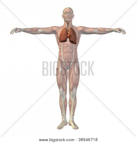 High resolution concept or conceptual anatomical human or man 3D respiratory system isolated on white background as metaphor to anatomy,medical,biology,health,heart,lung,medicine,cardio logy or care