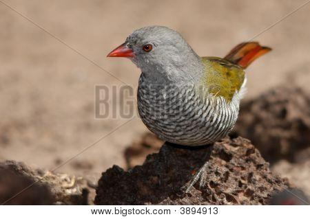 Melba Finch gallina