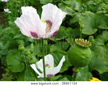 beautiful white flower of a poppy and fruit