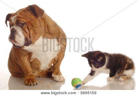 Bulldog Inglés aburrido con gatito