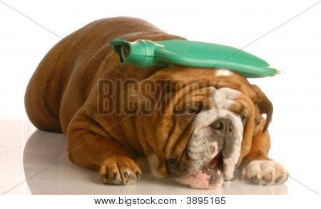 Bulldog With Hot Water Bottle