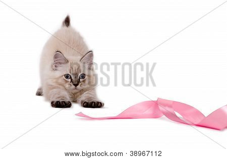 Cute british kitten playing with pink ribbon.