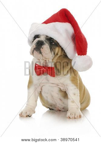 santa puppy - english bulldog wearing santa hat and bowtie with reflection on white background