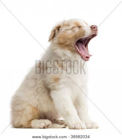 Australian Shepherd puppy, 8 weeks old, sitting and yawning against white background
