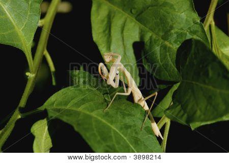 Saluting Mantis
