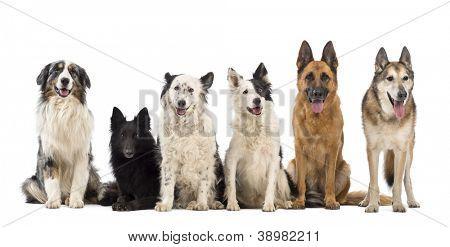 Australian Shepherd, Belgian Shepherd-Groenendael, Border Collie and German Shepherd dogs against white background