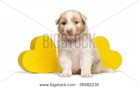 Australian Shepherd puppy, 27 days old, sitting in front of two yellow hearts against white background