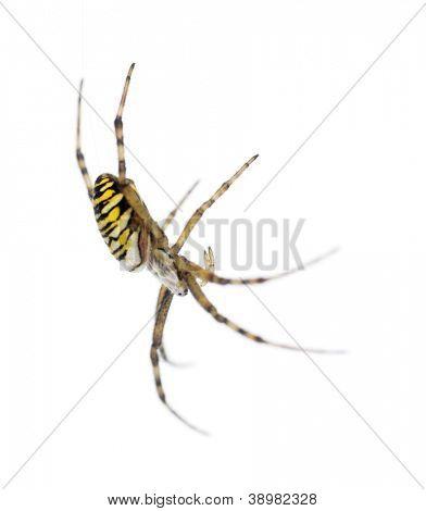 Wasp spider, Argiope bruennichi, hanging on web against white background