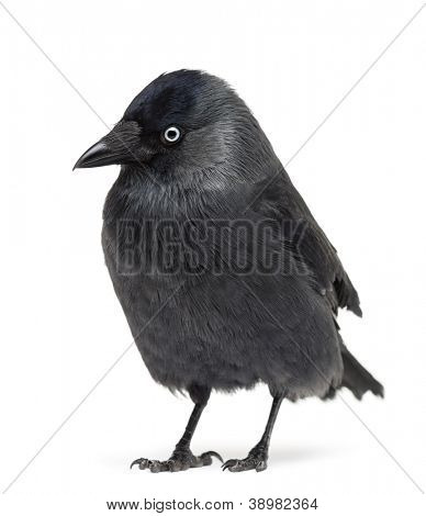 Western Jackdaw looking away, Corvus monedula, (or Eurasian Jackdaw, or European Jackdaw or simply Jackdaw) against white background