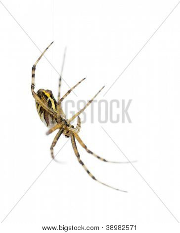 Wasp spider, Argiope bruennichi, hanging on web against white background