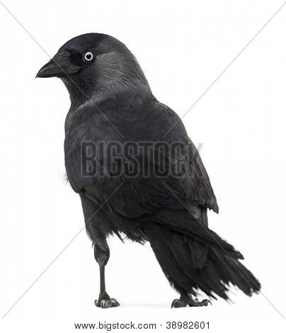 Rear view of a Western Jackdaw looking back, Corvus monedula, (or Eurasian Jackdaw, or European Jackdaw or simply Jackdaw) against white background