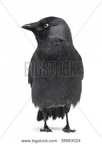 Western Jackdaw Corvus monedula, (or Eurasian Jackdaw, or European Jackdaw or simply Jackdaw) against white background