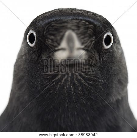 Close-up of a Western Jackdaw, Corvus monedula, (or Eurasian Jackdaw, or European Jackdaw or simply Jackdaw) against white background