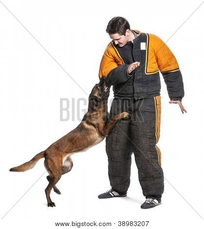 Belgian Shepherd attacking the arm of a trainer wearing a body bite suit against white background