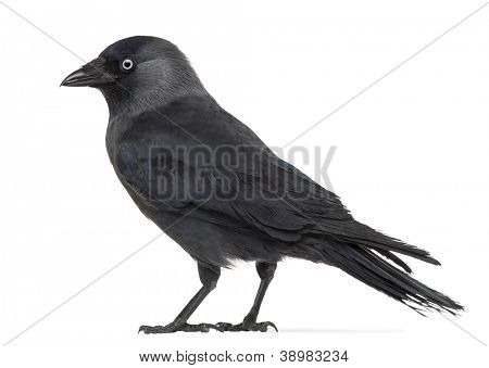 Side view of a Western Jackdaw, Corvus monedula, (or Eurasian Jackdaw, or European Jackdaw or simply Jackdaw) against white background