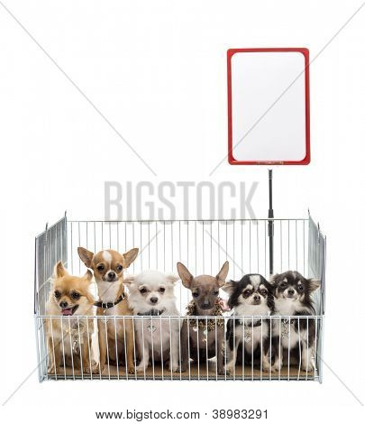 Chihuahuas in cage with white board against white background