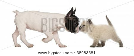 French Bulldog puppy and British shorthair kitten sniffing each other against white background