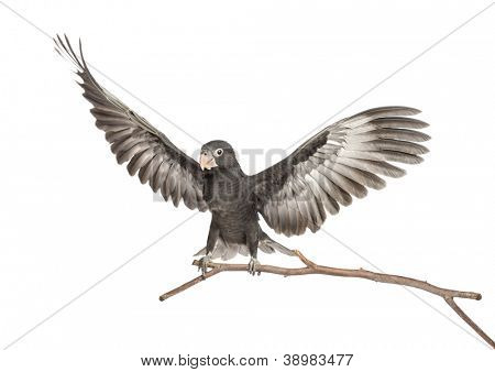 Greater Vasa Parrot, Coracopsis vasa, 7 weeks old, perched on branch with spread wings against white background