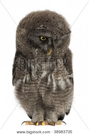 Great Grey Owl or Lapland Owl looking down, Strix nebulosa, 2 months old against white background