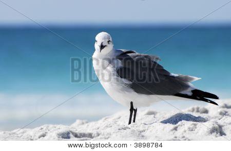 Seagull Stare