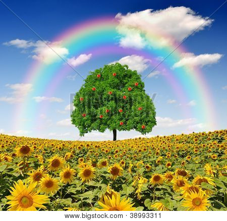 rainbow above the sunflower field with apple  tree
