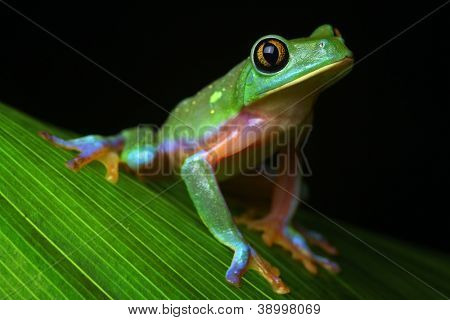 tree frog tropical treefrog, a rain forest amphibian and nocturnal animal with bright vivid colors lives in Jungle of Costa Rica Agalychnis annae