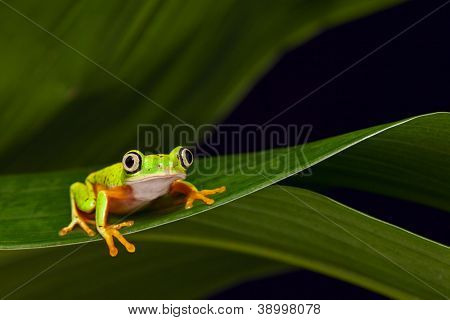yellow frog treefrog at night in tropical rain forest sitting on a leaf of a palm tree Agalychnis lemur lives in tropical rainforest of Panama and Costa Rica amphibian with big eyes