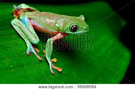 tropical frog on leaf in rain forest of Costa Rica tree frog Agalychnis annae is a beautiful colorful treefrog and nocturnal amphibian