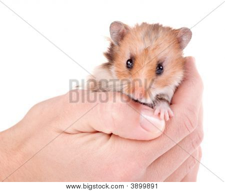 Hamster In Hand