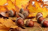 picture of acorn  - brown acorns on autumn leaves - JPG