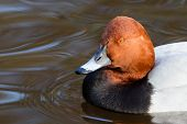 Common Pochard ( Aythya Ferina ) Portrait