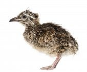 Elegant Crested Tinamou chick, Eudromia elegans, 1 day old, also known as Martineta Tinamou against white background poster