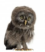 image of laplander  - Great Grey Owl or Lapland Owl - JPG
