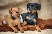 picture of miniature pinscher  - The Miniature Pinscher puppies 2 months old - JPG