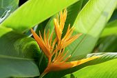 Beautiful Bird of Paradise flower known as Strelitzia poster
