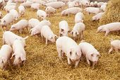 stock photo of animal husbandry  - herd of young piglet on hay and straw at pig breeding farm - JPG