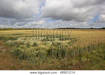 Wheat Field With Mayweed
