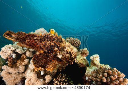 Stonefish Around Sha'ab Mahmud