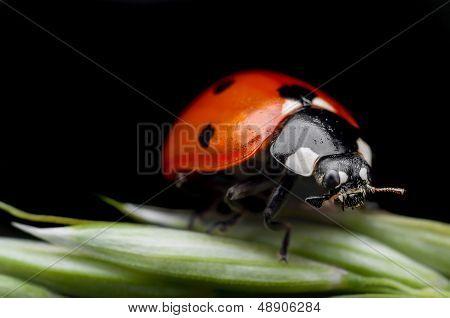 Ladybug closeup on black background