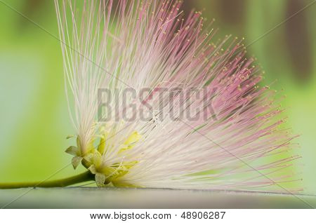 Hairy flower closeup on green background