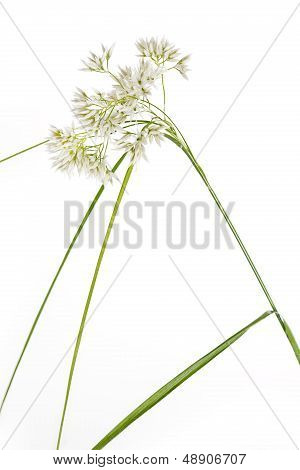 Luzula Nivea grass on white background