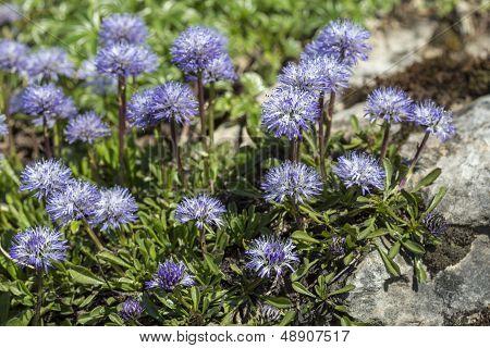 Blue balls or Globular (Globularia cordifolia) flowers