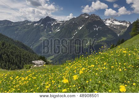 Yellow wild flowers in the Italian alps