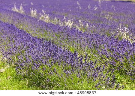 lavender field near Salles-sous-Bois, Rhone-Alpes, France