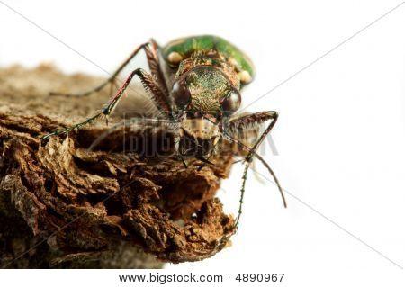 Carabidae  Restricta