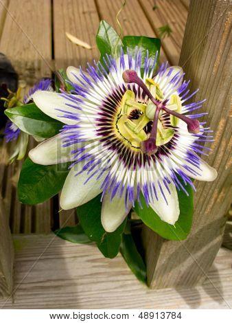 Passion Flower - Passiflora Caerulea